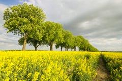 Giacimenti di fioritura del seme di ravizzone in Germania Fotografia Stock Libera da Diritti