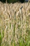 Giacimenti di grano immagine stock