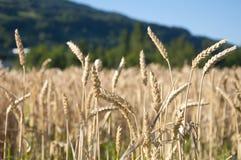 Giacimenti di grano immagini stock libere da diritti