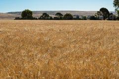 Giacimenti di grano Immagini Stock