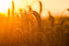 Giacimenti di grano Fotografie Stock