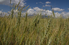 Giacimenti di grano Fotografia Stock Libera da Diritti