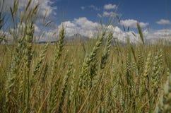 Giacimenti di grano Fotografie Stock Libere da Diritti