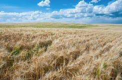 Giacimenti di grano ad agosto Fotografie Stock Libere da Diritti