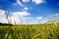 Giacimenti di grano agricoli Ora legale in una natura Ambiti di provenienza: indicatore luminoso del sole Campi verdi e tempo ven Immagine Stock
