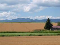 Giacimenti di grano a Biei, Giappone Fotografie Stock