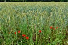 Giacimenti di grano con i papaveri rossi Immagine Stock Libera da Diritti