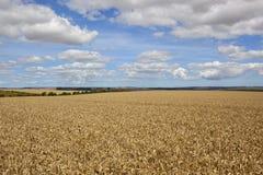 Giacimenti di grano dei wolds di Yorkshire Immagini Stock