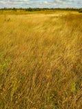 Giacimenti di grano dell'oro immagini stock libere da diritti