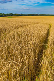 Giacimenti di grano dell'oro e cielo blu drammatico a luglio, il Belgio Immagini Stock Libere da Diritti