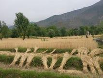 Giacimenti di grano a distanza himalayani del terreno coltivabile n del terrazzo della steppa Immagini Stock Libere da Diritti
