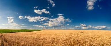 Giacimenti di grano dorati prima del raccolto Fotografia Stock Libera da Diritti
