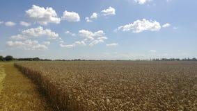 Giacimenti di grano Estate nel campo Agricoltura in Kuban Immagine Stock Libera da Diritti