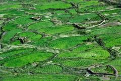 Giacimenti di grano, fotografati dalla cima: bei modelli verdi, fotografia luminosa di estate, Ladakh, India Immagine Stock
