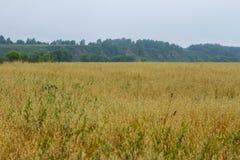 Giacimenti di grano gialli Fotografia Stock