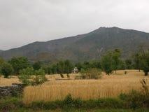 Giacimenti di grano himalayani del terreno coltivabile n del terrazzo della steppa della montagna Immagine Stock Libera da Diritti