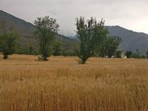 Giacimenti di grano himalayani del terreno coltivabile n del terrazzo della steppa della montagna Fotografia Stock