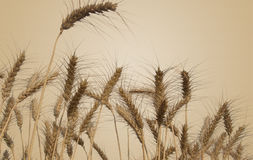 Giacimenti di grano isolati Immagine Stock