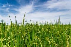 Giacimenti e cielo del riso Fotografia Stock Libera da Diritti