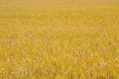 Giacimenti gialli del riso. Immagini Stock