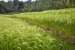 Giacimenti maturi del riso Fotografia Stock Libera da Diritti