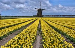 Giacimenti olandesi del tulipano e del mulino a vento Fotografia Stock Libera da Diritti