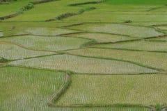 Giacimenti verdi del riso Immagini Stock