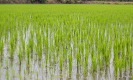 Giacimenti verdi del riso Fotografia Stock