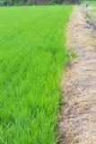 Giacimenti verdi del riso Fotografie Stock