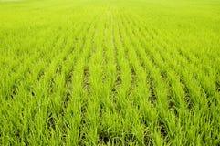 Giacimenti verdi del riso Fotografia Stock Libera da Diritti