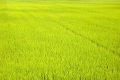 Giacimenti verdi del riso Immagine Stock
