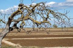 Giacimento arato della molla e un albero Fotografie Stock Libere da Diritti
