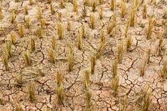 Giacimento asciutto del riso Fotografia Stock Libera da Diritti