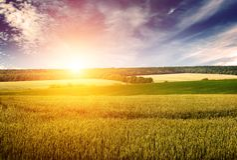 Giacimento, cielo blu ed alba di grano nel retro stile Fotografia Stock