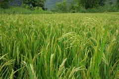 Giacimento cinese del riso Fotografia Stock