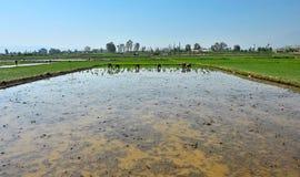 Giacimento cinese non identificato del riso di persona dura del lavoro degli agricoltori Fotografie Stock
