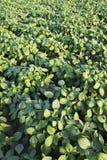 Giacimento coltivato verde della soia Fotografie Stock