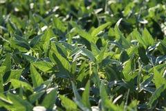 Giacimento coltivato verde della soia in molla tarda Immagine Stock