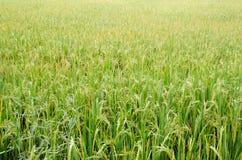 Giacimento crescente del riso Fotografia Stock Libera da Diritti