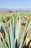 Giacimento del cactus dell'agave nel Messico fotografia stock