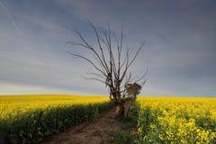 Giacimento del Canola alla luce di mattina Fotografia Stock Libera da Diritti