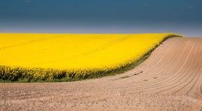Giacimento del Canola con cielo blu e terra marrone Fotografia Stock