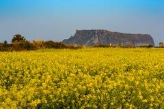 Giacimento del canola di Jeju fotografia stock libera da diritti