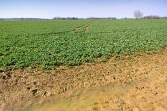 Giacimento del Canola in primavera Immagini Stock