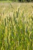Giacimento del cereale Fotografia Stock