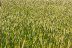 Giacimento del cereale Immagine Stock