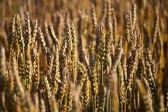 Giacimento del cereale Fotografia Stock Libera da Diritti