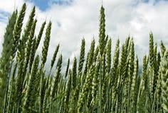 Giacimento del cereale. Fotografie Stock Libere da Diritti