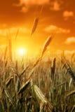 Giacimento del cereale al tramonto. Fotografia Stock