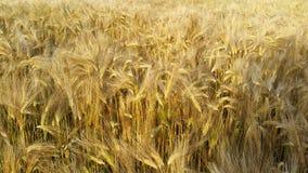 Giacimento del cereale in estate Fotografia Stock Libera da Diritti